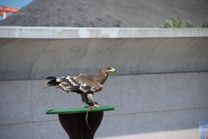 Eagle by Nataly1st