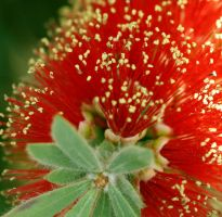 Macro shot of red flower by Dyslexic-Ferret