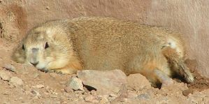 A relaxed prairie dog by Sweetgirl333