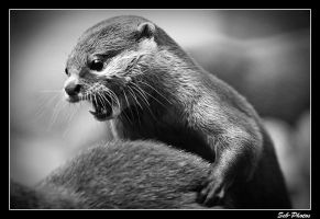 A psycho otter by Seb-Photos