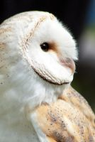 Barn Owl by h-e-photography