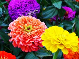 Zinnias by MsDeadable