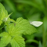 White skipper on  green by Mogrianne