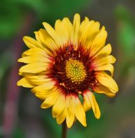Wild Sunflower by Joe-Lynn-Design