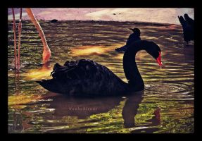 cisne negro by noohohIcant
