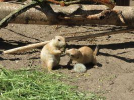 young Marmot 8 by mrscats