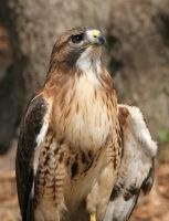 Red Tailed Hawk 20D0034727 by AnimalPlanetClub