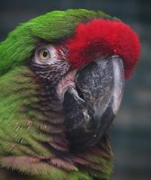 Bird Stock 12: Military Macaw by HOTNStock