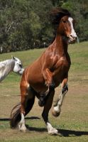 Clydesdale Rear 1 by naturalhorses