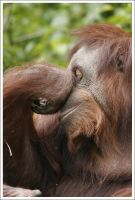Orangutan - 5557 by eight-eight