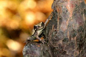 Gray Tree Frog by DoctorPhrog