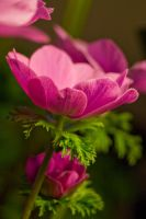 Anenome Stock 4 by Sheiabah-Stock