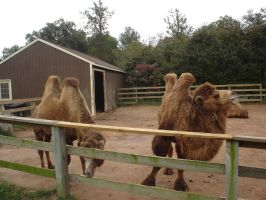 Bactrian Camels by Archanubis