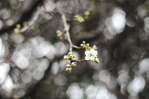 Plum tree by candypow
