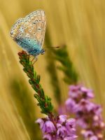 Polyommatus icarus 5 by Witoldhippie