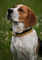 ...beagle... by canismaioris
