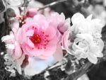 flower pink and black by Disy