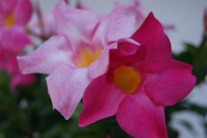 shades of pink by kipper1272