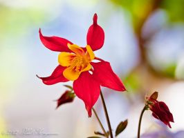 Red and Yellow Columbine by gentleworks