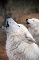 Polarwolves by MadHatter19689
