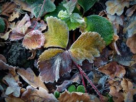 Autumn leaves in white frost by April-Mo