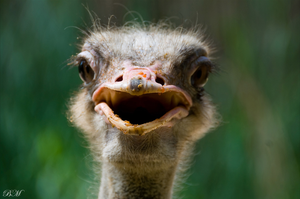 le ostrich by troldemort