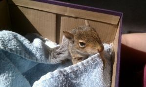 Spally the adorable baby squirrel by SavvyRed