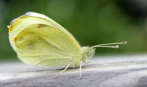 Pale Yellow Butterfly by Avahlon-Stock