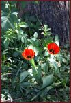 two red flowers by frendlygost