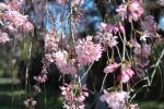 Weeping Cherry 2017 by Delina91