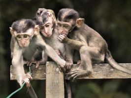 Three Baby Monkeys by aajohan