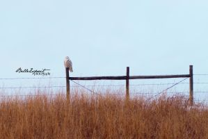 Snow Owl I by BelleEsprit