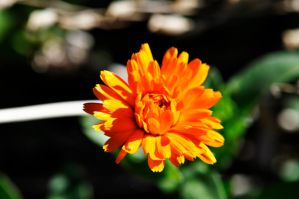 Orange Flower by Merlinman50