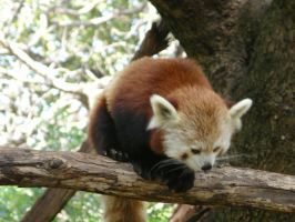 Amy the Red panda by Senefen