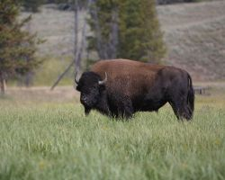 Yellowstone Bison by opticverve