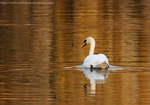 Swan on the water. by wildroseblossom