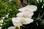 White Orchids by WildTigerLily