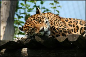Lazy jaguar by AF--Photography