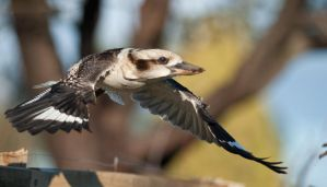Laughing Kookaburra 02 by 88-Lawstock