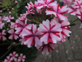 Pink and White Flowers 2 by oOFloraNatureOo