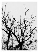 The_crow_thought_ahin by Serdarakman