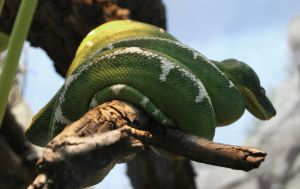 Emerald Python. by SteffiSTEREO