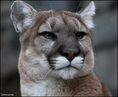 Cougar Photo Shoot 7 by SilkenWinds