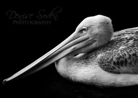 BW Pelican by DeniseSoden