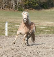 Haflinger Pony trotting by Snofte