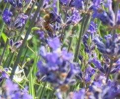 Lavender and a Bee by Kattvinge