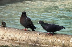 One Pigeon, two Pigeons... by ordinarygirl1