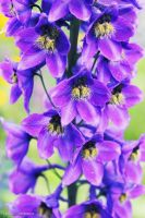 Purple delphinium by Ur6o