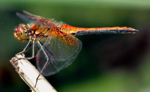 Dragonfly by FalseFront