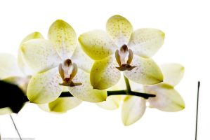 Orchids wp by DaaMaaN